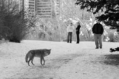 The Coyote Adventures... (Sherlock77 (James)) Tags: coyote park winter people snow calgary animal downtown princesisland