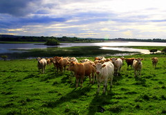 Field of Calves (MacGBeing) Tags: ireland lake green landscape geotagged cows farm beef ox lush greenfield oxen bovine farmanimals calves midlands leitrim 30d greengrass roscommon greengreengrassofhome yearoftheox ruralireland roosky greenireland lushgreengrass kilglasslake kilrushcemetry