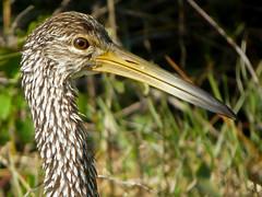 bulbous bill (Jeff's Digiscoped Wildlife pics) Tags: leica bird florida apo digiscoping digiscoped limpkin pinewoods spottingscope televid clux2
