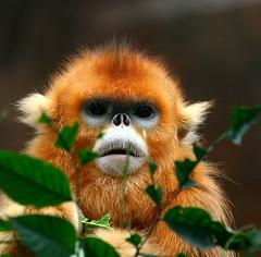 Golden Snub-nosed Monkey (Chi Liu) Tags: guangzhou china nature canon monkey bravo wildlife goldenmonkey goldensnubnosedmonkey chiliu specanimal animalkingdomelite highqualityanimals