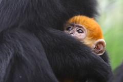 Jonge Langoer (Arie van Tilborg) Tags: fauna zoo rotterdam blijdorp dierentuin diergaarde tilborg arievantilborg
