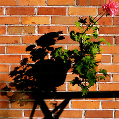 Wall Art!!! (Denis Collette...!!!) Tags: shadow canada flower art fleur wall quebec ombre geranium mur portneuf avision pontrouge flickrdiamond deniscollette world100f explorewinnersoftheworld goldenart