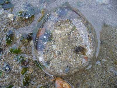 Jellyfish-P1050774