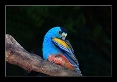 Golden-Shouldered Parrot-8269 (Barbara J H) Tags: bird nature fauna wildlife parrot australia qld australiazoo beerwah australiannativebird birdsofaustralia australianfauna captivebird barbarajh goldenshoulderedparrot psephotuschrysopterygius auselite faunaofaustralia