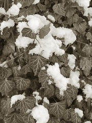 "Snowy Ivy • <a style=""font-size:0.8em;"" href=""http://www.flickr.com/photos/87605699@N00/2354709924/"" target=""_blank"">View on Flickr</a>"