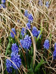 Muscari in Grasses