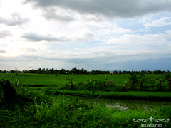 Speeding by the rice fields