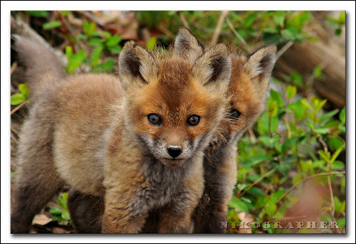 (just) Two Fox Kits