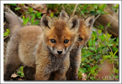 (just) Two Fox Kits (Nikographer [Jon]) Tags: animal animals lenstagged md nikon wildlife maryland easternshore national april nikkor blackwater 2008 apr refuge nationalwildliferefuge nwr d300 80400mmf4556dvr marylandseasternshore blackwaternationalwildliferefuge bnwr redfoxkits 20080405d30018580 jss20081 4donegi