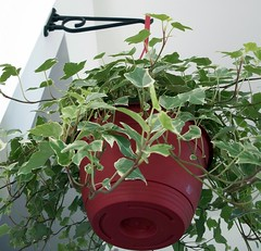 Ivy Plant Hanging Nine Feet in the Air