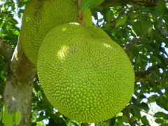 Jackfruit (largest fruit in the world) (Mahdi Ebrahimi) Tags: fruits malaysia jackfruit