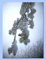 Shrouded in Snow (virtually_supine popping in and out) Tags: snow texture ice leaves photoshop blossom branches inspiring tees lighingeffects