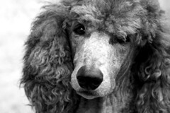 Mercury (artbeco) Tags: dog oregon mercury theboyz poodle utata ashland bestinshow thepack standardpoodle pinkshoe canicheroyal oregontata