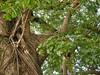 竹山鎮中和里救人老茄苳樹DSCN0178