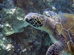 green sea turtle (~~Steph~~) Tags: ocean life sea wild usa green animal coral america hawaii turtle reptile wildlife sealife maui environment species endangered reef fragile herp