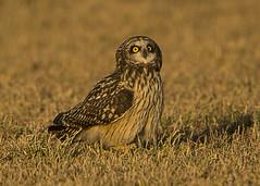 Short-eared Owl buzzed by harrier (Thomas Muir) Tags: asioflammeus shorteared owl bird woodcounty ohio bowlinggreen tommuir barkingowl d800 nikon 600mm goldenhour