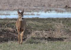 IMG_3102 Columbian white-tailed deer - Odocoileus virginianus leucurus (Jon. D. Anderson) Tags: ridgefieldnwr deer whitetaileddeer columbianwhitetaileddeer odocoileusvirginianus odocoileusvirginianusleucurus endangeredspecies threatenedspecies