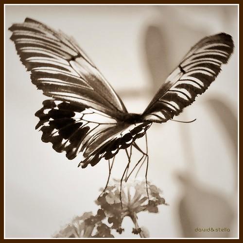 Golden Birdwing -troides amphrysus {sepia}