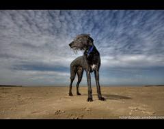Fast Eddie (*Richard Cooper *) Tags: dog wirral westkirby lurcher merseyside
