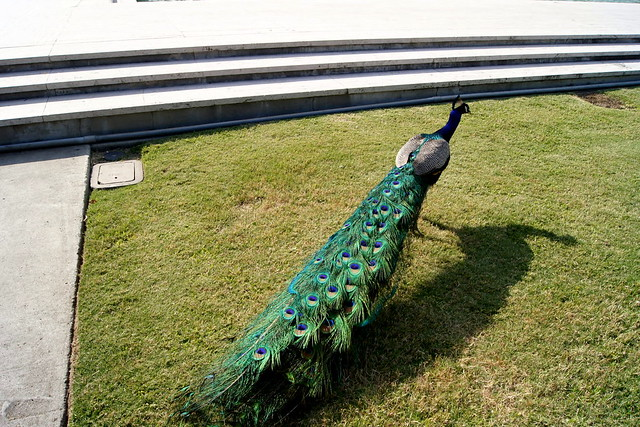 chasing the peacock