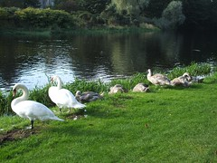 Mute Swan Family (Queenbie) Tags: birds swans aberdeen cygnets muteswan seatonpark riverdon