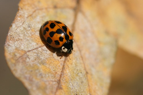 Harlequin Ladybird Drying off the Morning Dew