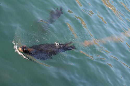 Sea lion Poop