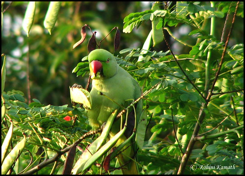 HL-Rose Ringed Parakeet Male
