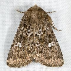 Properigea albimacula 20070727_4004 (GORGEous nature) Tags: washington moth july lepidoptera skamaniaco gpnf noctuidae wa biglavabed xyleninae 2000ft ipimorphini properigeaalbimacula mona9588 properigea fr66 johndavis