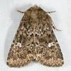 Properigea albimacula 20070727_4004 (GORGEous nature) Tags: washington moth july lepidoptera skamaniaco gpnf noctuidae wa biglavabed xyleninae 2000ft ipimorphini properigeaalbimacula mona9588 properigea fr66 ©johndavis