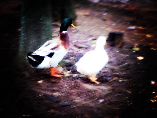 Danza con patos