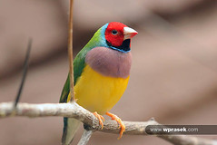 Gouldian finch (wprasek) Tags: berlin bird animal animals germany de fly colorful vibrant flight feathers multicoloured finch beast colourful multicolored technicolor creatures creature multicolor beasts multicolour zoology technicolour gouldian berlinbrandenburg gouldianfinch warrenprasek folionatureanimals berilnzootiergarten xoodu wprasek wwwxooducom wwwwprasekcom