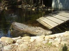 saltwater crocodile (Karybu) Tags: travel floraandfauna eastcoast australia20072008
