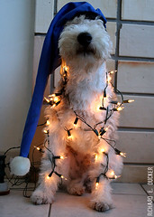 Ruffus - Natal - 1 (Richard E. Ducker) Tags: natal de wire terrier fox wired pelo arame ruffus gremio