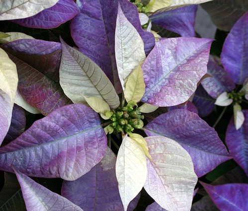 Poinsettia by Jeanie's Pics.