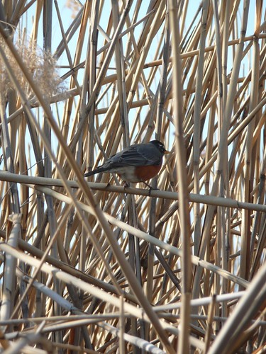 Robin in the Reeds!