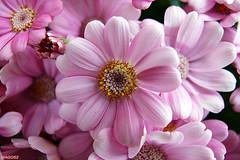 Gazania (mago52) Tags: flowers primavera spring fiori fioritura ishflickr httpwwwflickrcomgroupsmacroawards