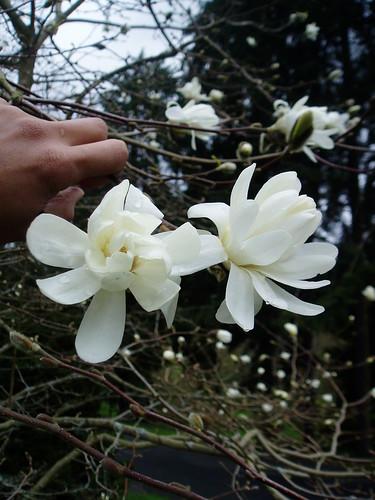 Magnolia x loebneri Ballerina