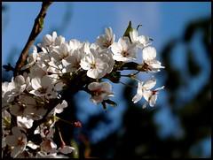 In celebration of womens right to vote (Kirsten M Lentoft) Tags: white flower cherry blossom hugs onblue naturesfinest tokyocherry momse2600 thegoldenmermaid goodnightdearest mmuahhh ungiornoimportanteperledonne kirstenmlentoft