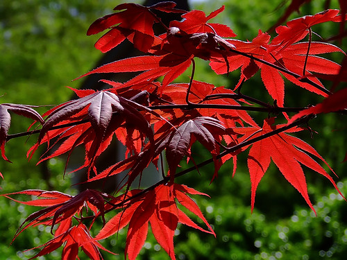 "Missouri Botanical (""Shaw's"") Garden, in Saint Louis, Missouri, USA - Bloodgood maple"