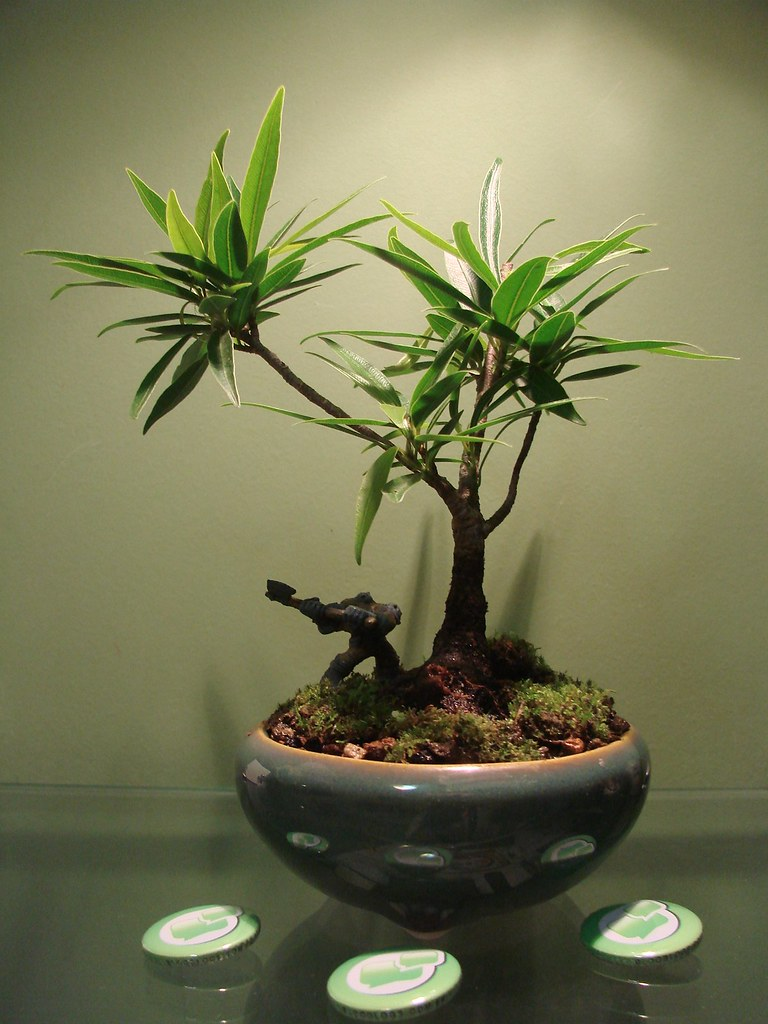 Ficus nerifolia & friend.