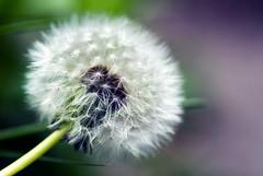 [フリー画像] 花・植物, キク科, タンポポ, 200807111500