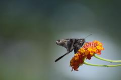 DSC_0939 (Kelson Souza) Tags: borboleta borboletas natureza butterfly