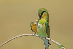 Scratch Scratch Scratch.  Blue Tailed Bee Eater relaxing on a perch. (arvindpixel1) Tags: birdphotography green birds wildlife canon bengaluru karnataka india colours feathers beeeater blue