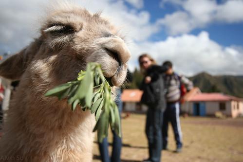 Llama Snacking