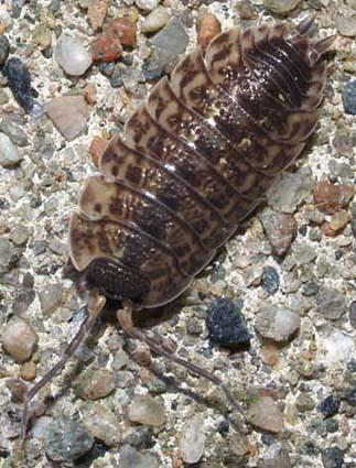 Porcellio spinicornis