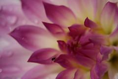 Pink Dahlia (Juli's pix) Tags: pink dahlia flower soe blueribbonwinner pinkdahlia shieldofexcellence macromarvels dazzlingshots