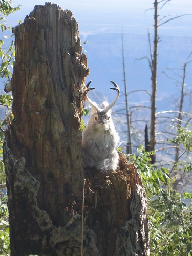 fuzzy rabbit jackalope posed on log stump