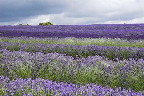 Main Lavender Field Snowshill