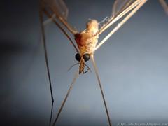 Macro Mosquito (DrGEN) Tags: macro mosquito mosquitoe big closeup drgen gen mundo yo veo blog rosario argentina ceres santafe tipula oleracea